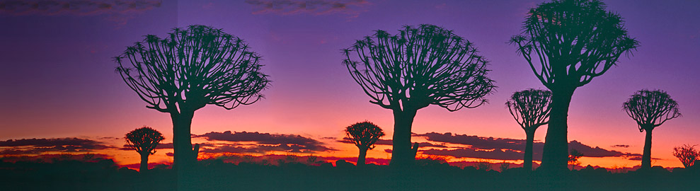 header quivertree