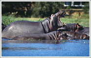 hipposbotswana k